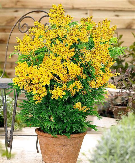 mimosa vaso achetez maintenant une plante en pot mimosa parfum 233