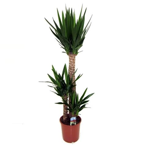 Plante Verte Yucca by Plante Verte