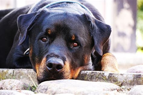 rottweiler cut ears justice for found with nose and ears cut forcechange