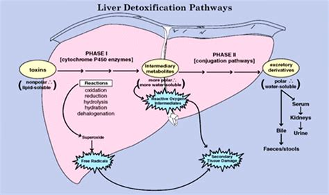 Detox Pathways Of The Liver by Jacques Imbeau On The Relationship Between Health And