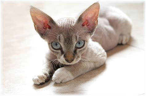 can you train a cat to go outside for bathroom devon rex cat