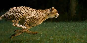 How Fast Does A Jaguar Run Cheetahs In Motion Business Insider