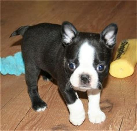 boston terrier puppies for sale in wv well trained and boston terrier puppies for sale
