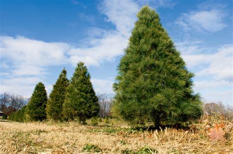 cut your own tree ri o tree at ward grove tree farms