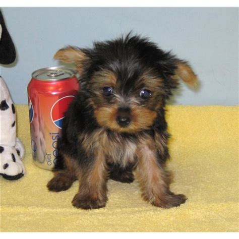 free teacup yorkies puppies terrier teacup size www pixshark images galleries with a bite