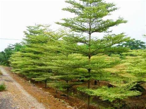Bibit Pohon Ketapang Kencana jual bibit pohon ketapang kencana