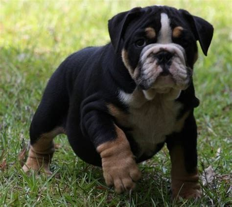 bulldog puppies colors and on