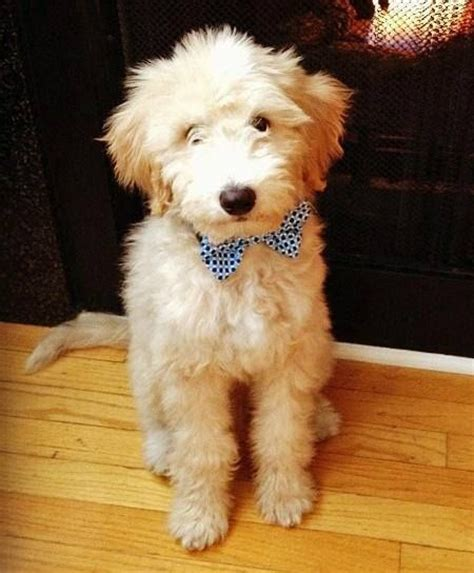 goldendoodle puppies for sale calgary 25 b 228 sta goldendoodle hundar id 233 erna p 229