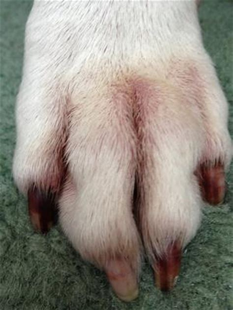 puppy itching picture of canine bacterial skininfection and skin pimples breeds picture