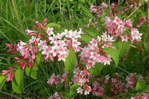 flowering shrubs for florida lovely summer flowering shrub for gardens weigela florida