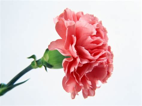 carnation flower carnations painted by