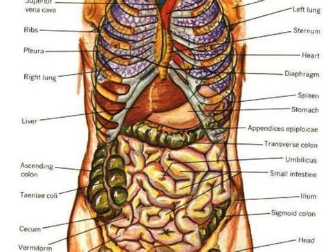 full female anatomy human anatomy organs male human anatomy diagram