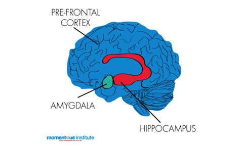 Cross Section Of A Brain by What Does A Child S Brain Need For Optimum Growth Your