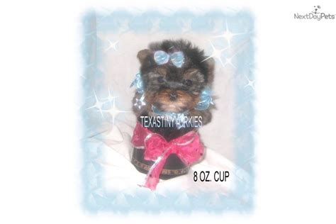 yorkie puppies for sale canada teacup chihuahua breeders puppies for sale micro pocket mini puppy rachael edwards