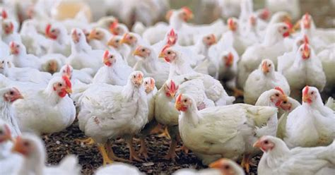 Berapa Bibit Ayam Broiler zakat peternakan ayam broiler berkah global business