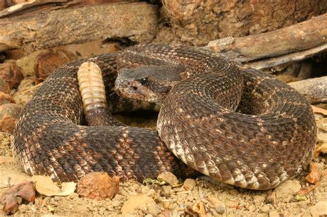 rattlesnake vaccine for dogs rattlesnake vaccine for dogs