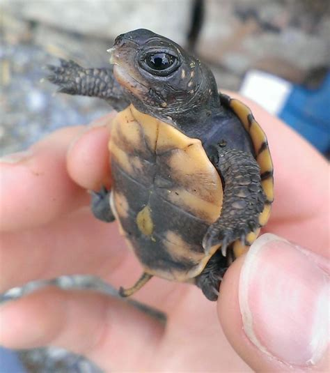 25  best ideas about Turtles on Pinterest   Baby turtles