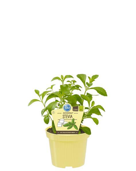 stevia coltivazione in vaso stevia rebaudiana bio vaso 12 linea verde