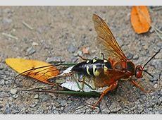 The Eastern Cicada Killer Wasp Bentley For Sale In Texas