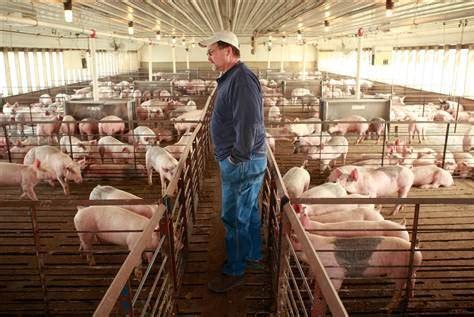 Cum 238 Ngroapă Statul Fermele De Porci Prețurile Sunt Sub Bureau Fermé