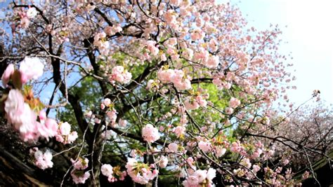sakura trees pink japanese cherry blossom fruit shinjuku gyoen national park nature tokyo asia