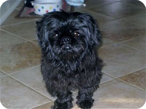 pekingese and shih tzu mix puppies winston adopted 1021 knoxville tn shih tzu pekingese mix