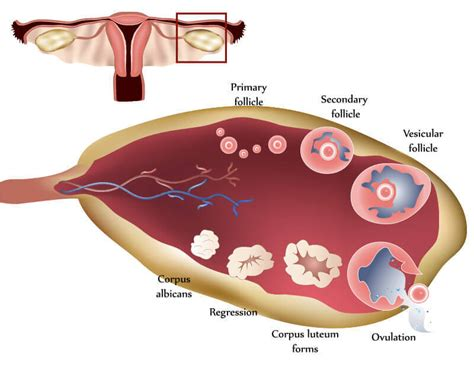 Ovulation Pictures