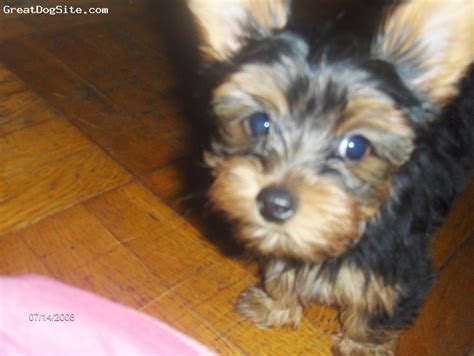 black and brown yorkie a photo of a 1 black and brown terrier greatdogsite