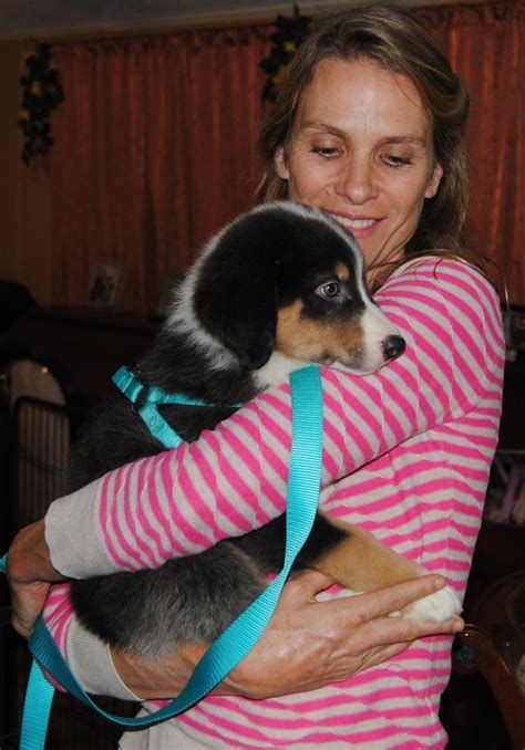 shamrock rose aussies exciting news summer litters coming expected  week  july ready