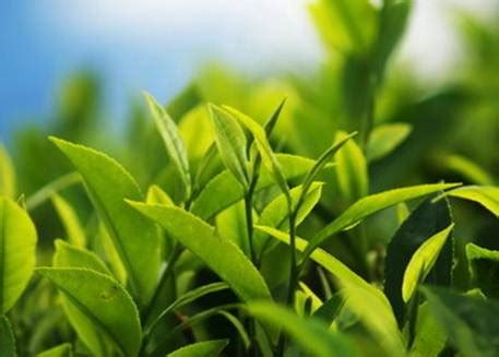 wallpaper daun teh eat smart green tea health benefits