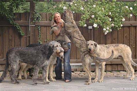 wolfhound puppies for sale ohio wolfhound puppies for sale breeds picture