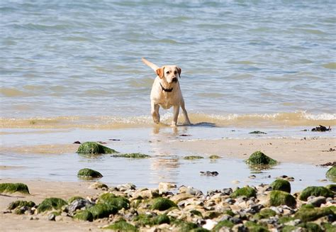 beaches that allow dogs top 10 friendly beaches for summer sykes cottages