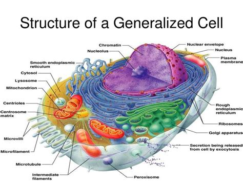 human tissue diagram the 25 best human cell diagram ideas on human