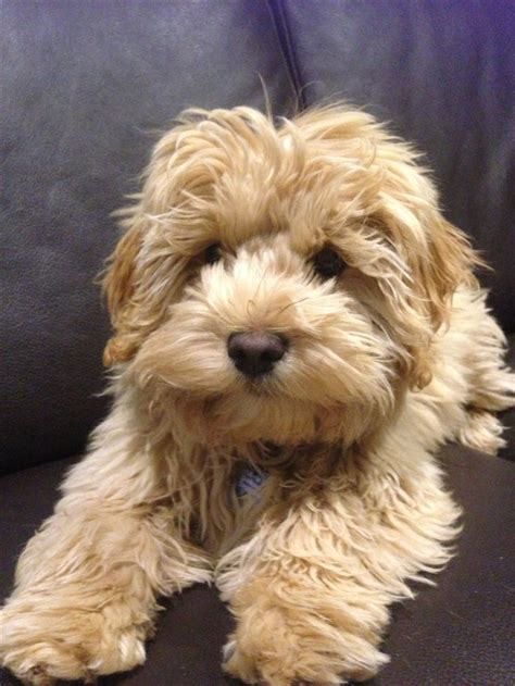 15 best images about want 15 best images about cavoodle on around