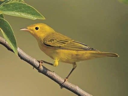 warblers bird www pixshark com images galleries with a