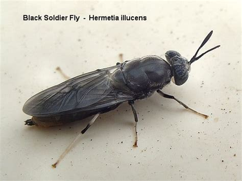 black soldier fly bsf photo gallery black soldier fly blog