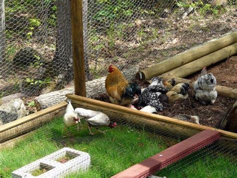 backyard chicken forum backyard chicken forum 28 images coop pictures