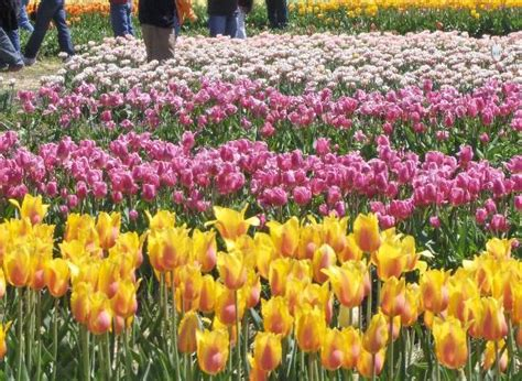 Veldheer Tulip Gardens by Photo0 Jpg Picture Of Veldheer Tulip Garden