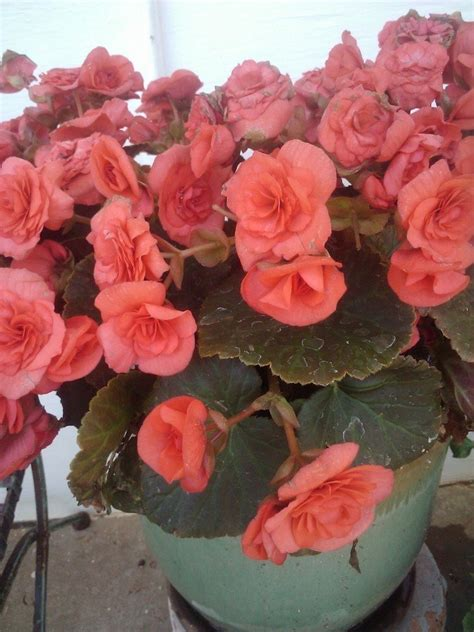 rose  plant  flowers flowers forums