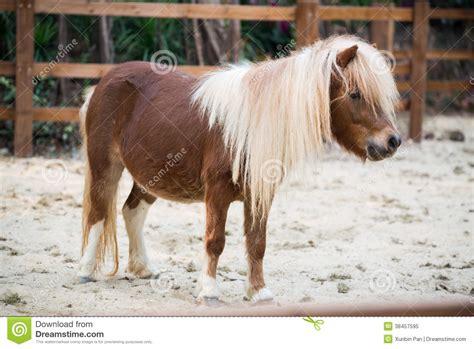 shetland pony stock photos images royalty free shetland shetland pony royalty free stock photo image 38457595