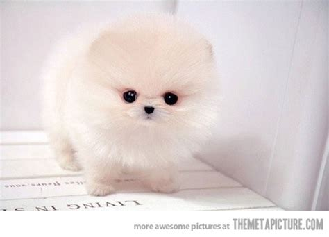 picture of a teacup pomeranian teacup pomeranian puppy the meta picture