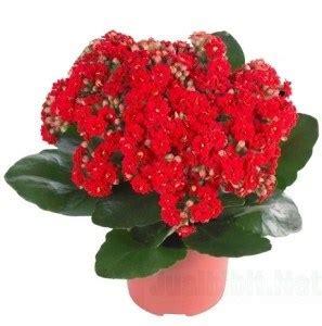 Tray Semai Yang Bagus jual bibit unggul tanaman kalanchoe merah bibit