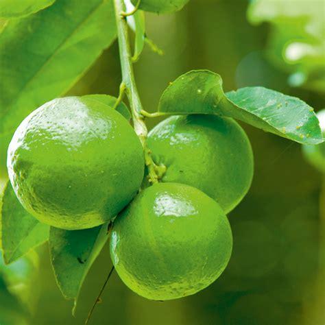walmart fruit trees for sale citrus tree lime dobies
