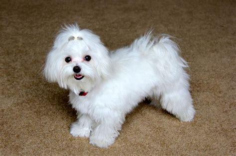 why has my maltese terrier got thin hair 138 best maltese images on pinterest animals maltese