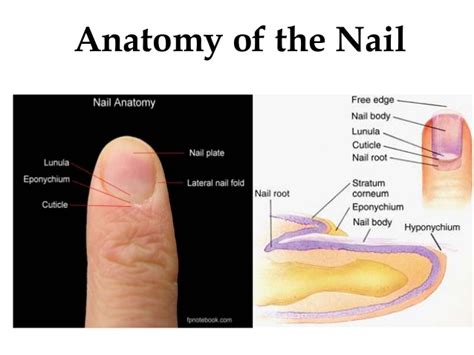 nail bed anatomy anatomy of nail and applied aspects