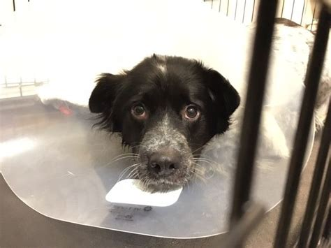 cone after surgery why i foster dogs mnn nature network