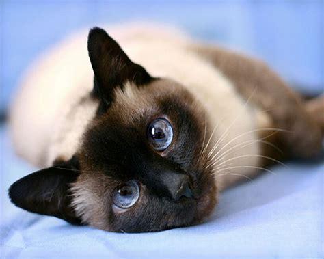 online kopen wholesale siamese kat uit china siamese kat