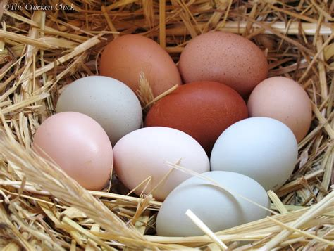 Backyard Chicken Eggs by Backyard Chicken Eggs With Image 183 Bwhiteballard 183 Storify