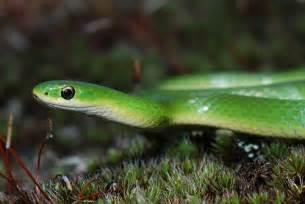 Garden Snake Green Flickr Photo