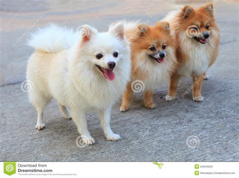 white and brown pomeranian of white pomeranian and brown color stock images image 24544224
